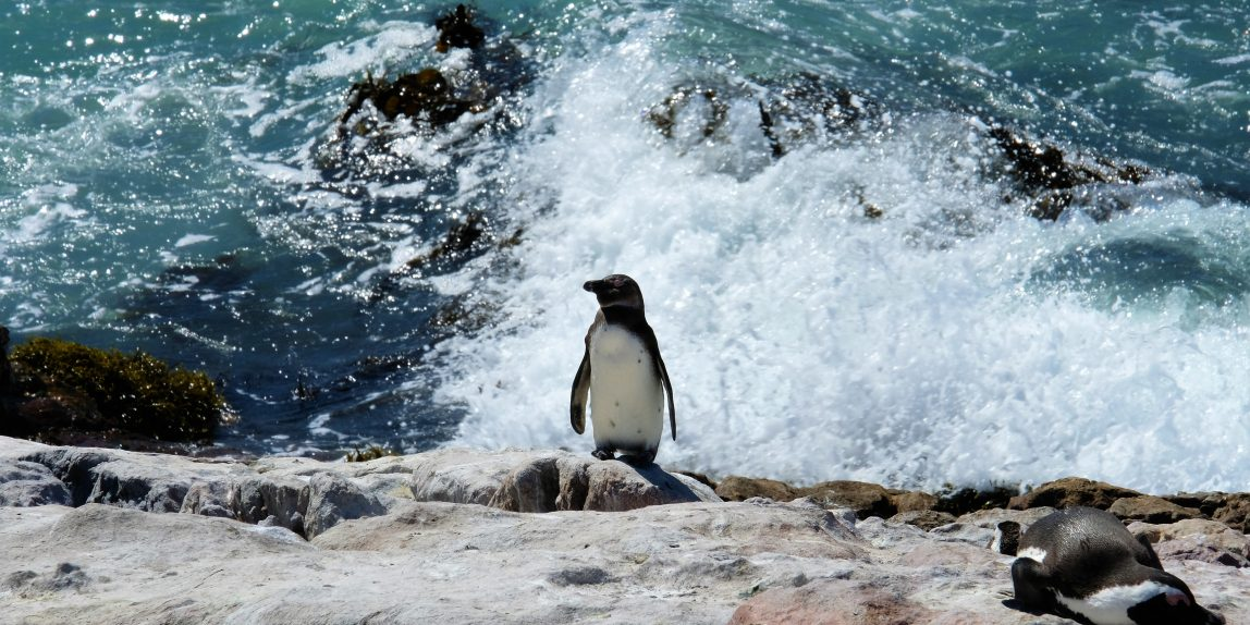 A penguin sitting on a rock and the surge of a wave is hitting behind him