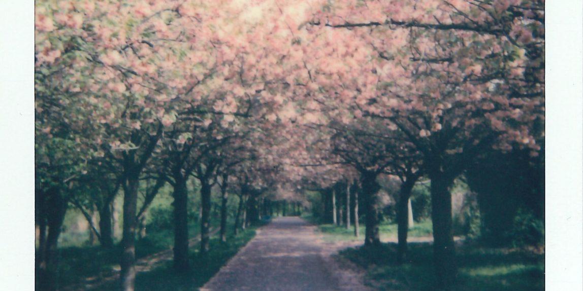 Cherry trees on Mauerweg in Berlin
