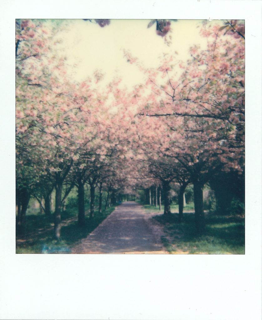 Cherry trees on Mauerweg in Berlin